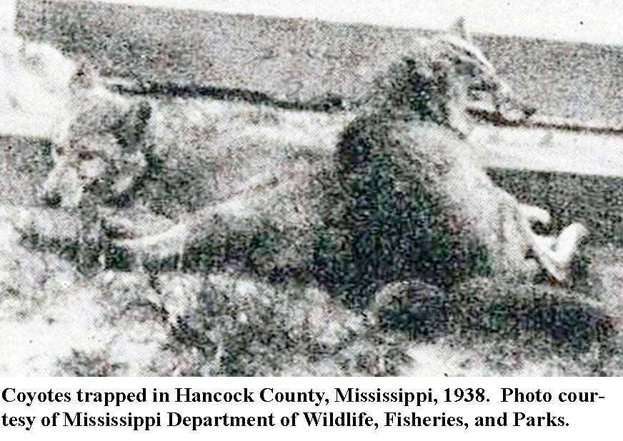 Coyotes trapped in Hancock County, 1938, photo courtesy of Mississippi Department of Wildlife, Fisheries, and Parks